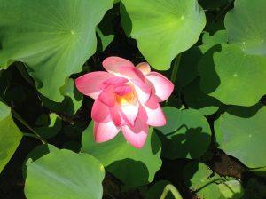 Lotus_Kauai